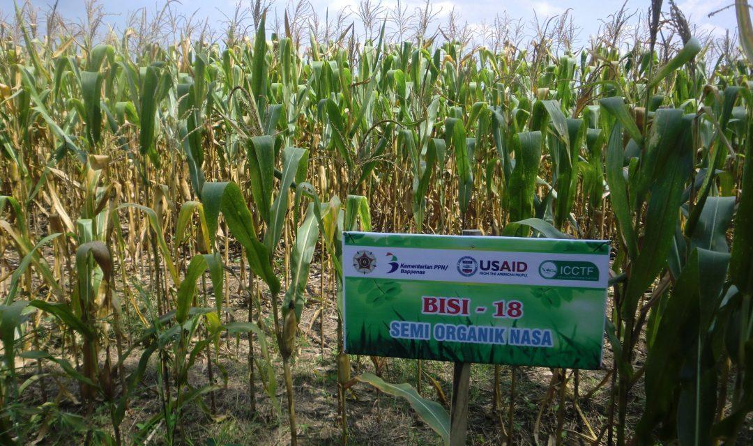 FKt-UGM-praktek-IFFS-tanaman-jagung-organik-scaled-1080x640